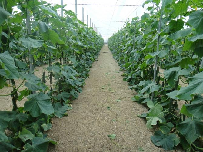 Rozsada ogórków – efektywna uprawa ogórków